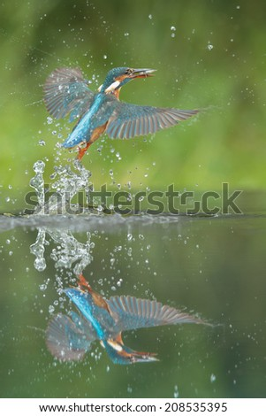 A female Kingfisher leaving the water after a successful dive. - stock photo