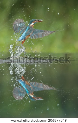 A female Kingfisher leaving the water after a successful dive.  She has caught a minow by the tail, and to help protect her eyes she still has her third eyelid or nictitating membrane dawn across. - stock photo