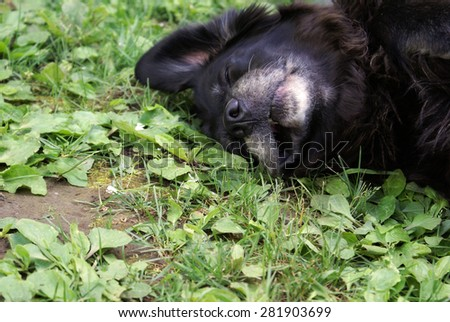 A female lab rests on the cool ground to beat the summer heat. - stock photo