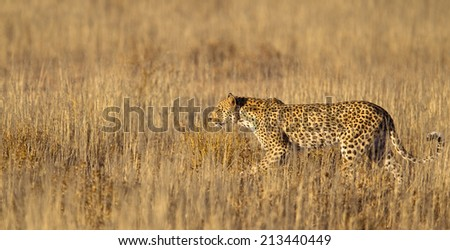 A female Leopard grass in the Kalahari Desert, Kgalagadi Transfrontier Park, South Africa - stock photo