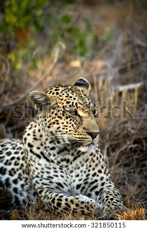 A female leopard in Sabi Sands Game Reserve in greater Kruger National Park, South Africa - stock photo