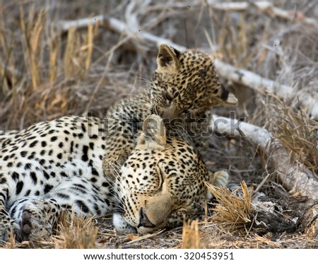 A female leopard takes a nap while it cub licks and grooms its mother in Sabi Sands Game Reserve in greater Kruger National Park, South Africa - stock photo