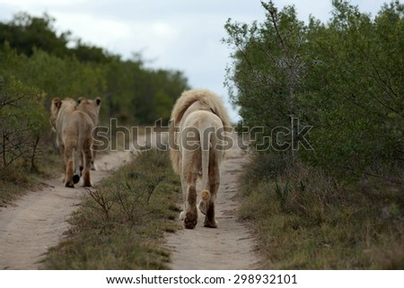 A female lioness and a male lion walking down a safari road in this image - stock photo