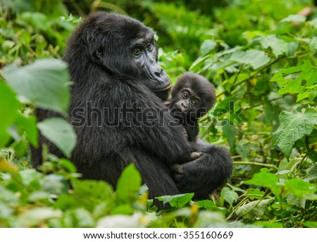 A female mountain gorilla with a baby. Uganda. Bwindi Impenetrable Forest National Park. - stock photo