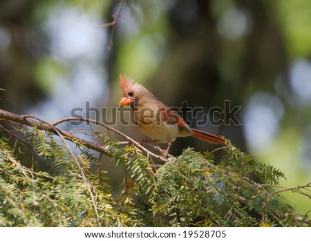 A female northern cardinal - stock photo