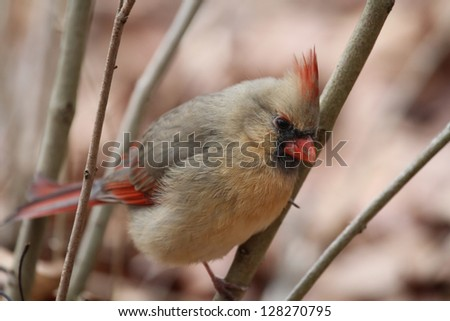 A female Northern Cardinal perched on a branch - stock photo