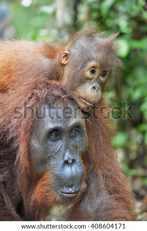 A female of the orangutan with a cub in a native habitat. Bornean orangutan (Pongo pygmaeus wurmmbii) in the wild nature. Rainforest of Island Borneo. Indonesia.