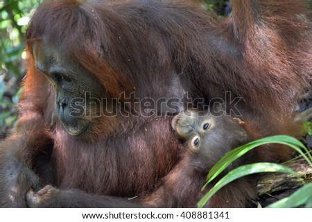 A female of the orangutan with a cub in a native habitat. Bornean orangutan (Pongo pygmaeus wurmmbii) in the wild nature. Rainforest of Island Borneo. Indonesia.  - stock photo