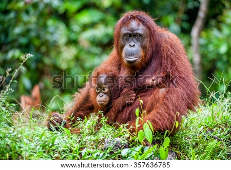 A female of the orangutan with a cub in a native habitat. Rainforest of Borneo. - stock photo