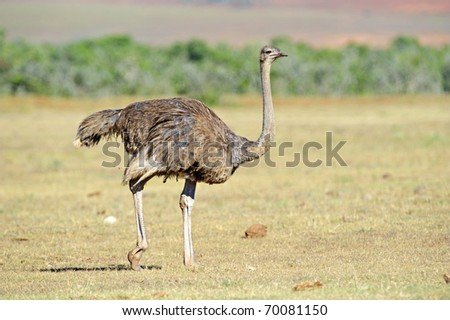 A female Ostrich on her way to drink - stock photo
