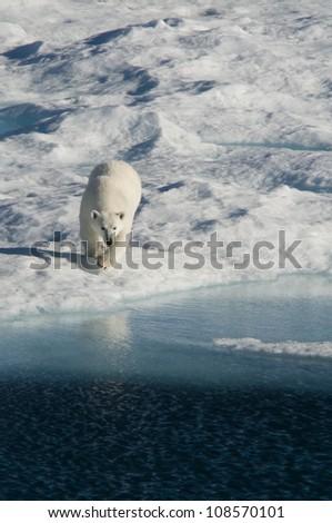 A female polar bear hunting seal on an ice floe in Nunavut, Canada. - stock photo