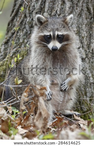 A female Raccoon (Procyon lotor) stands on her hind legs in a deciduous forest, revealing her status as a nursing mother - Ontario, Canada