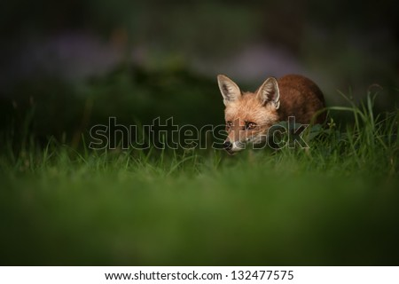 A female Red Fox in the dappled light of early morning. - stock photo