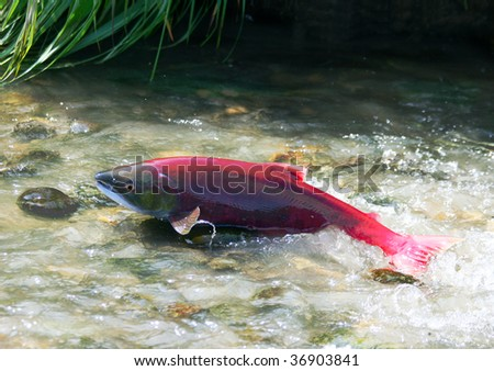 A female red salmon go to spawn - stock photo