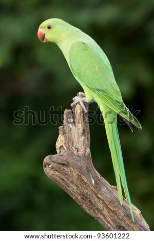 A female Ringnecked Parakeet photographed in Dubai in the United Arab Emirates.
