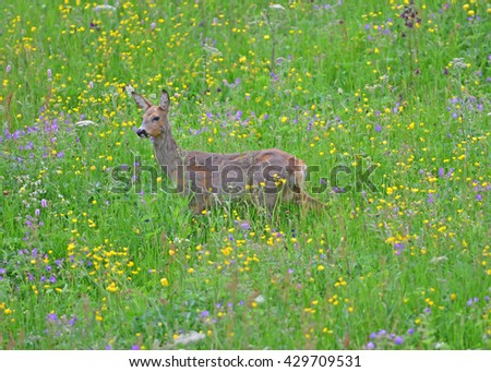 A female roe deer in a meadow full of flowers - stock photo