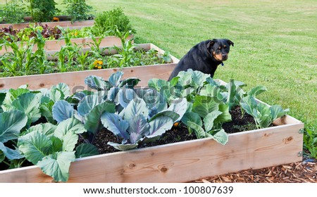 A female Rottweiler sitting amongst a row of raised vegetable gardens with a questioning look. - stock photo