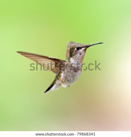 A female Ruby-throated Hummingbird hovering with a green background.