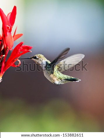 A female ruby throated hummingbird hovers in midair while feeding on nectar from red cana lily flowers. - stock photo
