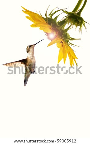 A female ruby throated hummingbird in motion approaching a beautiful sunflower head on a pale cream background with a glowing sunshine like center with copy space.