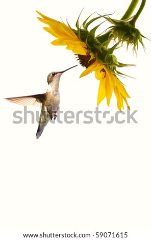 A female ruby throated hummingbird in motion approaching a beautiful sunflower head on a pale cream background with copy space. - stock photo