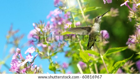 A female ruby throated hummingbird in motion in the garden. - stock photo