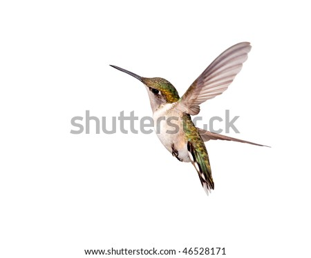 A female Ruby-throated Hummingbird twisting in flight. Isolated on a white background.
