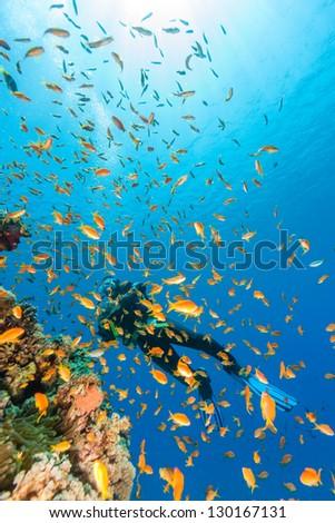 A female scuba diver swims next to a shoal of Anthias - stock photo