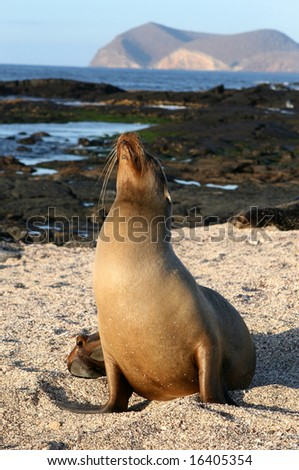 A female Sea Lion on the beach of the Galapagos Islands - stock photo