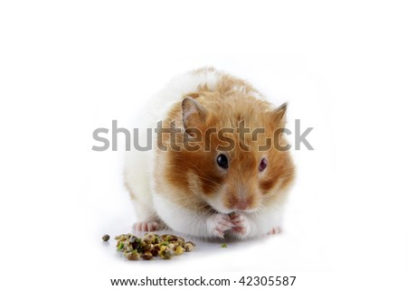 A female Syrian hamster eating isolated in white background - stock photo