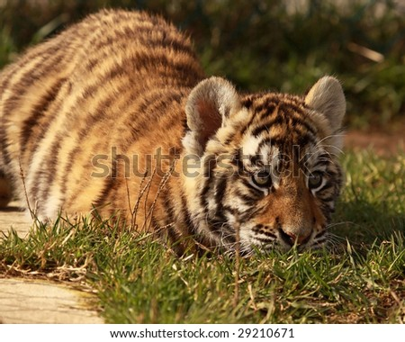 A female tiger (Panthera tigris altaica) cub in the grass - stock photo