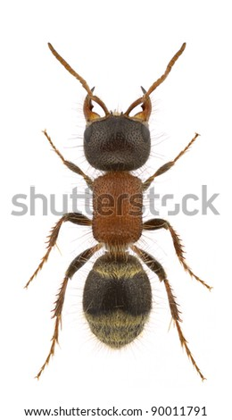 A female velvet ant, Myrmilla lezginica, isolated on a white background - stock photo