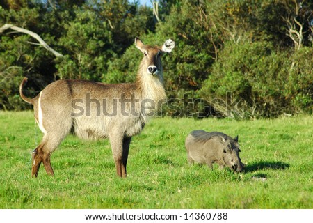 A female waterbuck and a warthog in a game park in South Africa - stock photo