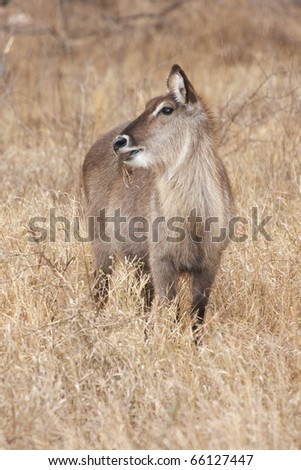 A female waterbuck, kobus ellipsiprymnus, grazing in dry grassland