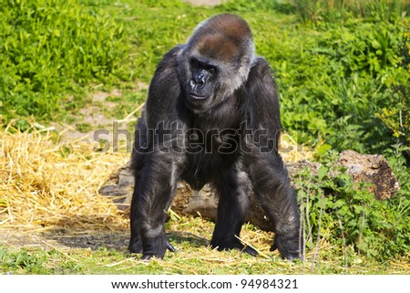 A female western lowland gorilla standing facing forward and looking to the right - stock photo