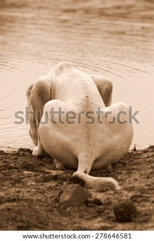 A female white lion having a drink of water. South Africa - stock photo