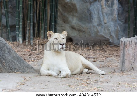 A female white lion lays on the ground looking around in its cage.