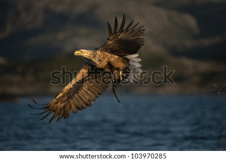 A female White-tailed Eagle in flight. The eagle has just caught a young Coal fish. - stock photo