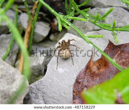 A female wolf spider with a cocoon.