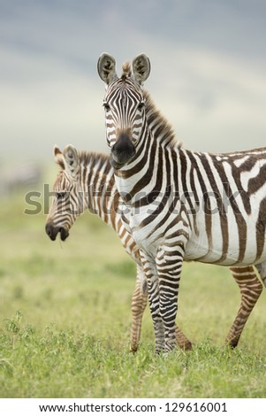 A female Zebra with her foal in the Ngorongoro Crater in Tanzania - stock photo