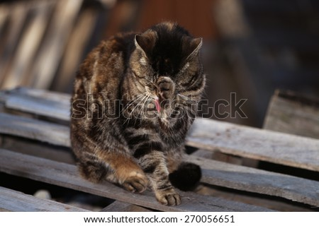 A Feral Cat Standing on a Shipping Pallet While Cleaning its Face - stock photo