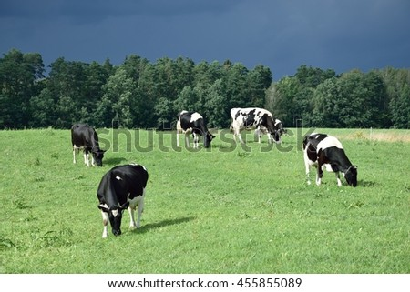 A few cows (Bos taurus taurus) on pasture against the background of a stormy sky, Poland - stock photo