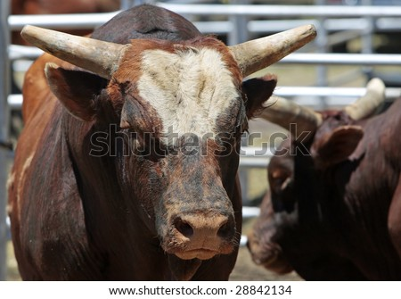 A few large bulls in a steel pen - agricultural, animal, rodeo, attitude image (shallow focus point on bulls head and face). - stock photo