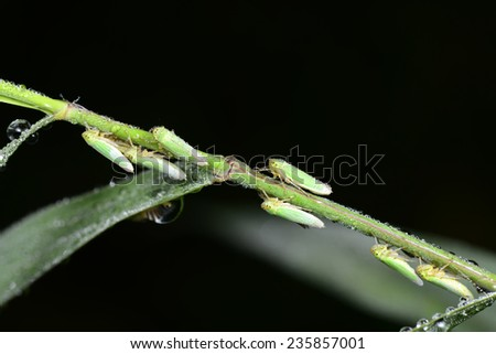 A few leaf cicadas close-up photographs of crawling over the green plants  - stock photo