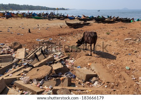 A few meters from the entrance to the temple complex is a real mess. Piles of garbage cover part of the beach. Stray cow look for food. Murudeshwar, Karnataka, India. - stock photo