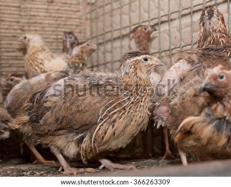A few quails in a cage on a chicken farm - stock photo