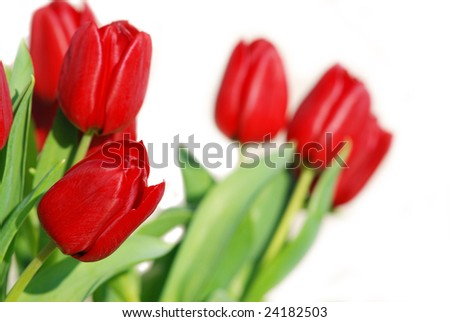 a few red tulips isolated