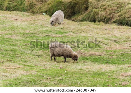 A few sheep on pasture. Cloudy day. - stock photo