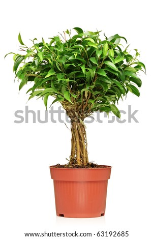 A Ficus Benjamin (ficus benjamina natasja) in a brown pot isolated on white background - stock photo