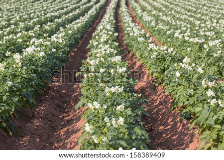 A field in rural Prince Edward Island, Canada of potato plants in full flower. - stock photo